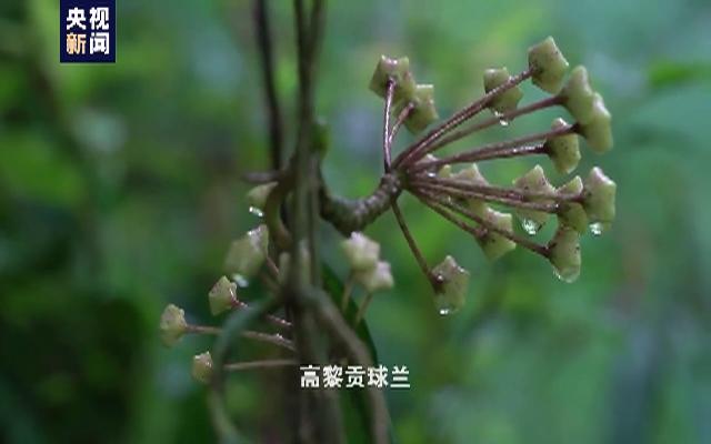 云南发现新物种高黎贡球兰