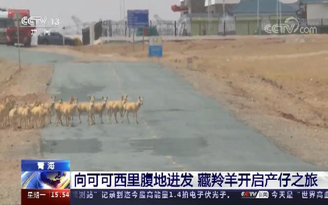 藏羚羊迁徙途中过马路