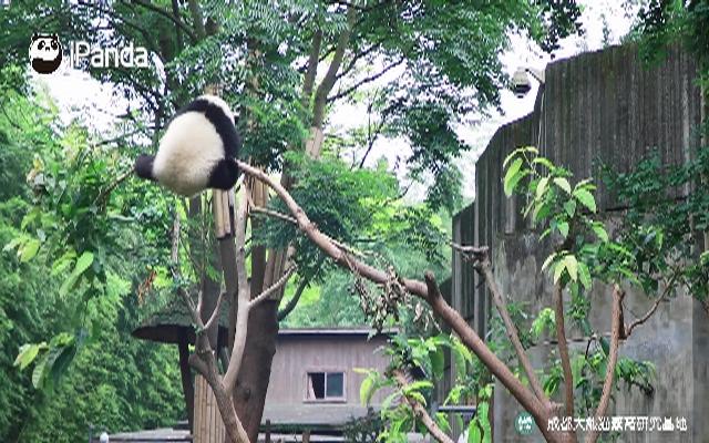 赚到!熊猫限时高空杂技表演